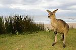 Eastern Grey Kangaroo (Macropus giganteus) female at the coast, Pebbly Beach, Murramarang National Park, New South Wales, Australia