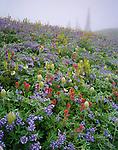 Mount Rainier National Park, WA:  Alpine wildflowers including lupine (Lupinus latifolius, var. subalpinus), paintbrush (Castilleja parvfloria), lousewort (Pedicularis rainierensis), pasque flower (Anemone occidentalis), on misty hillside on Mazama Ridge
