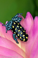 Thumbnail Dart Frog, Ranitomeya vanzolini, native to Peru