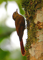 Wedge-billed woodcreeper with ant