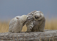 A pair of snowy owls exhibiting mutual preening as they perch on a driftwood log<br />