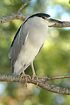 Black Crowned Night Heron, Nycticorax nycticorax, Florida.USA....