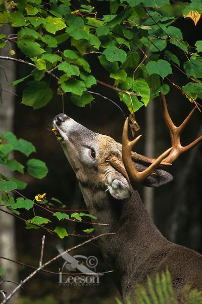 White-tailed deer buck feeding on tree leaves.  Great Lakes region.  Fall.