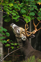 White-tailed deer buck feeding on tree leaves.  Great Lakes region.  Fall.