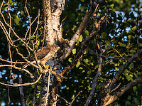 Rough-winged hawk holding a snake