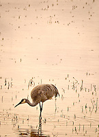 A lone Sandhill Crane wades in Chupadera Pond at Bosque del Apache National Wildlife Refuge at sunset searching for his dinner.
