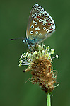 Adonis Blue Butterfly, Lysandra bellargus, side view of wings, Provence.France....