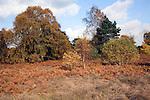 Heathland vegetation, Sutton Heath, Sandlings, Suffolk, England