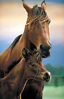 Arabian foal nuzzles mare. Head shot with orange clouds, vertical. horse, horses, animals,.