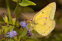 389440001 a wild male orange sulphur butterfly colias eurytheme perches on a flower at  the naba site in mission hidalgo county lower rio grande valley texas united states