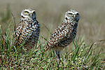 Burrowing Owl, Athene cunicularia, pair at nest, Florida, male and female.USA....