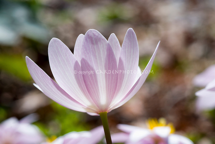 Sanguinaria canadensis - pink form, single solitary flower backlit soft focus, bloodroot, American wildflower