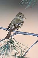 Cordilleran Flycatcher - Empidonax occidentalis