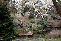 White flowering Magnolia campbellii, Campbell's Magnolia 'Strybing White' in Moon Viewing japanese style garden room with boardwalk path over pond at San Francisco Botanical Garden