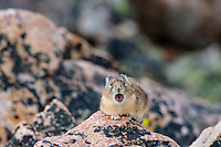 """American pika (Ochotona princeps) calling.  Beartooth Mountains, Wyoming/Montana border.  Summer.  The name Pika comes from the way Siberian Tungus people say the sound of a Pika's call--""""peeeka""""--an onomatopoeic word.  Most americans say """"Pieka,"""" but the rest of the world pronounces it """"Peeka."""""""