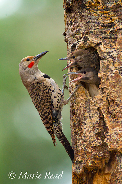 Northern Flicker (Colaptes auratus), red-shafted form, male outside nest cavity where two begging nestlings look out, Mono Lake Basin, California, USA