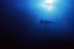Scalloped Hammerhead, Sphyrina lewini, Galapagos