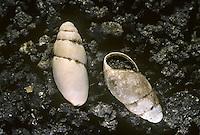 Slippery Snail - Cochlicopa lubrica