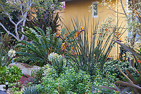 Strelitzia juncea Narrow-leafed Bird of Paradise flowering South African perennial in front of colorful wall in Patrick Anderson Garden with succulents and cycad, Encephalartos ferox