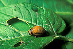 Potato Beetle