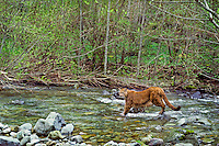 Mountain lion, cougar, or puma (Felis concolor) crossing stream, Pacific Northwest.  Spring.