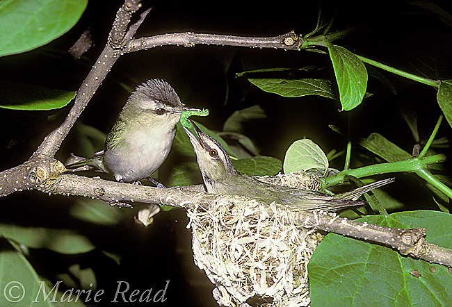 Red-eyed Vireo (Vireo olivaceus) male (left) feeding a green caterpillar to his mate incubating on the nest, New York, USA<br /> Slide # B159-01