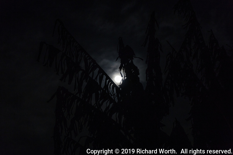 The 2019 Full Worm Moon appears to rest in the crux of tattered banana leaves.