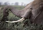 African elephant feeding