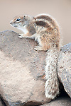 Barbary ground squirrel, Atlantoxerus getulus, sitting on stone wall, Fuerteventura, Canary Islands, Spain. Introduced from North Africa