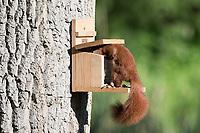 Eichhörnchen holt sich Futter aus einem Futterkasten, Fütterung, füttern, Eichhörnchen-Futterhaus, Eichhörnchen-Futterkasten, Eichhörnchen-Futterautomat, Eichhörnchenfütterung, Sciurus vulgaris, Red squirrel, Eurasian red squirrel, feeding, feed, Écureuil d´Europe