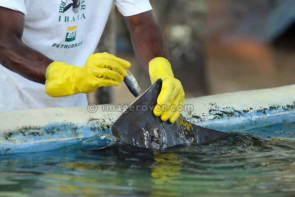 Brazil. Bahia, Praia do Forte. Zookeeper feeding a stingray (Raia Prego) at the Projeto Tamar. The Projeto TAMAR is a Brazilian non-profit organization with the main aim to protect sea turtles from extinction in the Brazilian coastline. --- No signed releases available.