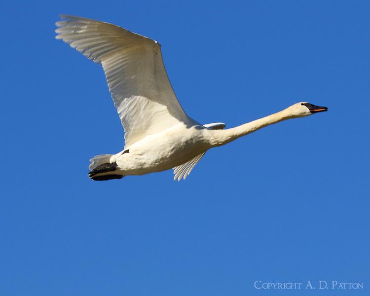 Trumpeter swan adult