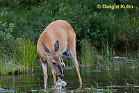MA11-545z  Northern (Woodland) White-tailed Deer eating pond plants, Odocoileus virginianus borealis