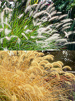 Pennisetum alopecuroides in summer flower and autumn fall color bloom ornamental grass, composite picture