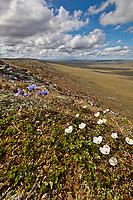 Wildflowers in the Utukok Uplands, National Petroleum Reserve Alaska, Arctic, Alaska.