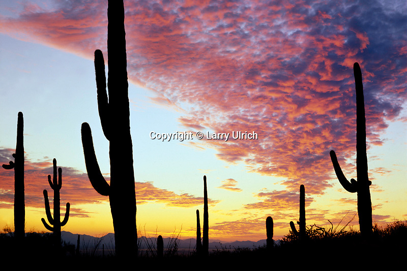 Saguaro cactus at sunset<br />