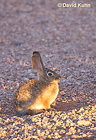 0228-1203  Desert Cottontail Rabbit (Audubons Cottontail), Sylvilagus audubonii  © David Kuhn/Dwight Kuhn Photography