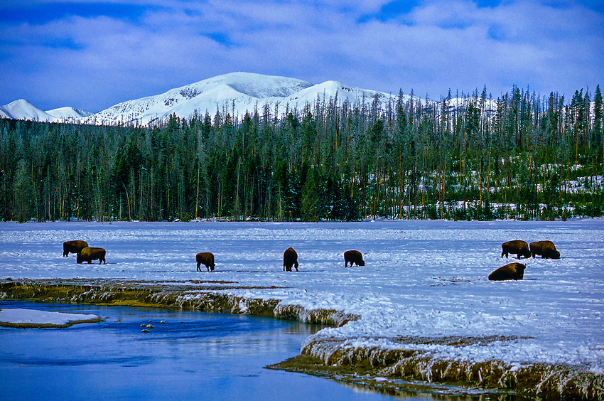 Bison (buffalo), Yellowstone National Park, Wyoming USA