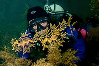 leafy Seadragon, Phycodurus eques, a diver observes a pair of leafy sedragons near a jetty, Wool Bay, South Australia, Australia, Southern Ocean