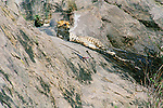 A cheetah rests while an agama lizard sits nearby.
