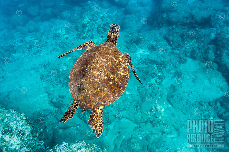 A scuba diver's view of a Hawaiian green sea turtle (or honu) swimming underwater at Shark's Cove, North Shore, O'ahu.