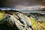 Marine iguana, Galapagos Islands, Ecuador