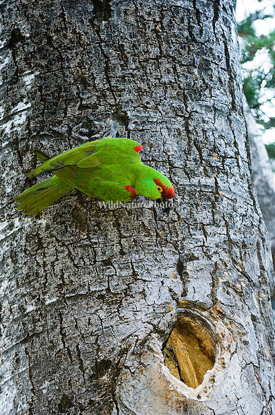 An endangered Thick-billed Parrot, Rhynchopsitta pachyrhyncha, nesting in Quaking Aspen