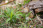 Eastern Chipmunk (Tanias striatus) in the spring.  Winter, WI.
