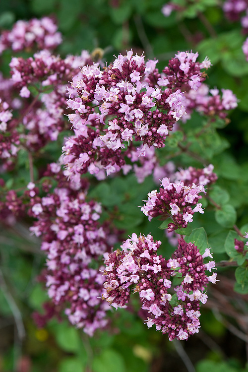 Origanum 'Rosenkuppel', early August. A pink-flowered form of oregano.