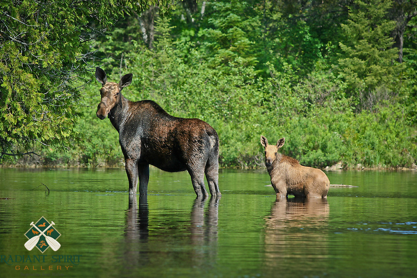 &quot;Moose with Calf&quot;<br /> <br /> A cow moose and her calf wade across a shallow bay in the Boundary Waters Canoe Area Wilderness (BWCAW).