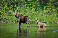 """Moose with Calf""<br />