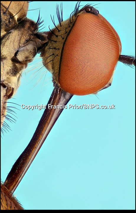 BNPS.co.uk (01202) 558833<br /> Picture: Francis Prior<br /> <br /> Dance fly<br /> <br /> Young photographer Francis Prior has found photographic success using the most unlikely of models - dead bugs he found in his parents' house. The 19-year-old amateur photographer uses a macro lens to capture the smallest of details invisible to the human eye. After rounding up dead spiders, flies and beetles from every corner of his parents' home in Halewood, Liverpool, Francis sets them up in his insect studio. The incredible images can feature up to 100 shots layered on top of one another - and each one takes up to six hours to produce.