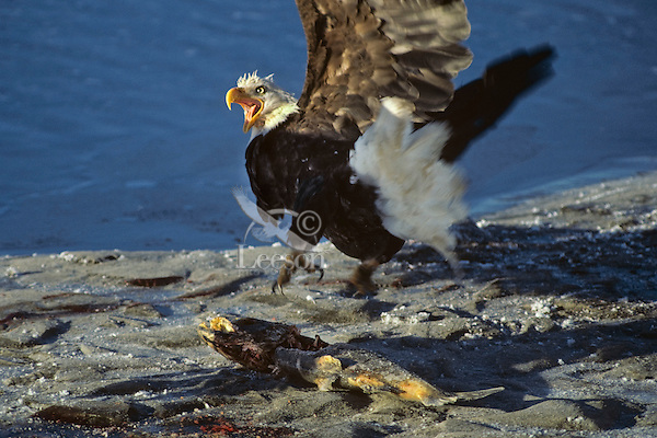 Surprised bald eagle (Haliaeetus leucocephalus) responding to another eagle flying in to feed on fish in foreground.  Alaska.