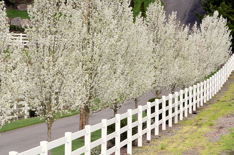 Flowering pear trees of home driveway. Near Woodburn. Oregon